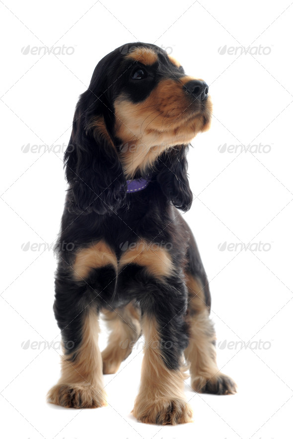 puppy english cocker - Stock Photo - Images