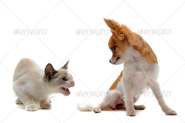 aggressive cat and chihuahua - Stock Photo - Images