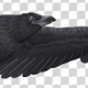 Black Raven - Flying Cycle - Top Side - 4