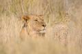 Hiding lion