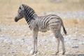 Wet Zebra foal, Etosha, Namibia