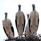Four Storks In The Nest - VideoHive Item for Sale
