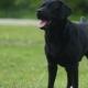 Black Labrador  - VideoHive Item for Sale