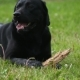 Black Labrador Gnaws Stick - VideoHive Item for Sale