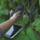 Tablet In The Hands Of The Farmer On The Background Of The Vineyard - VideoHive Item for Sale