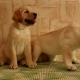 Labrador  Puppies - VideoHive Item for Sale