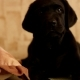 Labrador Puppy - VideoHive Item for Sale