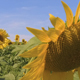 Sunflower Field 2 - VideoHive Item for Sale