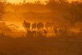 Zebras and springbok walking into a dusty sunset