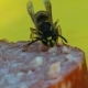 Wasp Eating a Sausage 9 - VideoHive Item for Sale