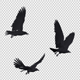 Three Black Birds Flying Over Screen - VideoHive Item for Sale