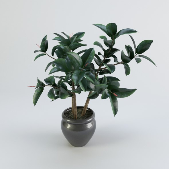 Ficus plant in a pot  - 3DOcean Item for Sale