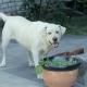 Labrador Retriever Dog Watching To Camera - VideoHive Item for Sale