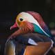 Mandarine duck - PhotoDune Item for Sale