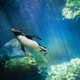 Penguin diving - PhotoDune Item for Sale