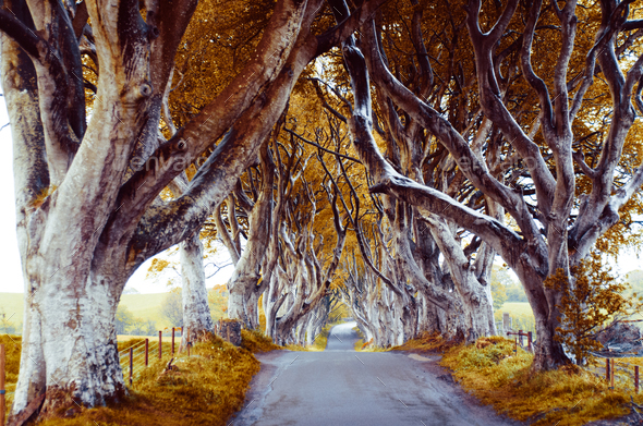 majestic tree alley - Stock Photo - Images