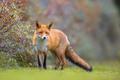 Fox walking in dune vegetation