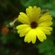 Yellow Flower After Rain  - VideoHive Item for Sale