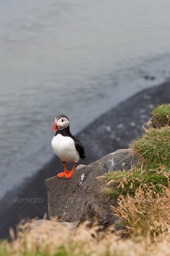 puffin bird - symbol of Iceland - Stock Photo - Images
