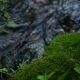Moss Growing Near a Creek Drinking Water - VideoHive Item for Sale