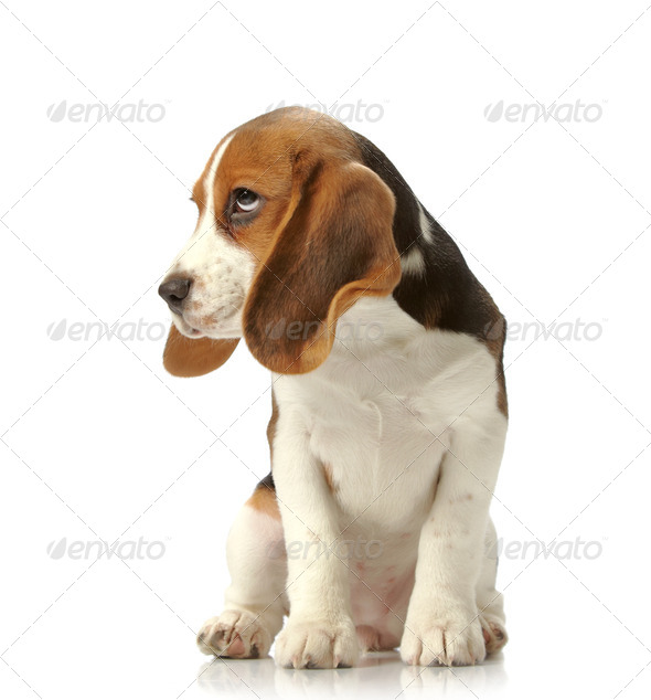 beagle puppy - Stock Photo - Images