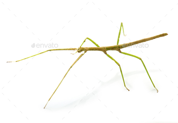 stick insect in studio - Stock Photo - Images