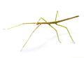 stick insect in studio