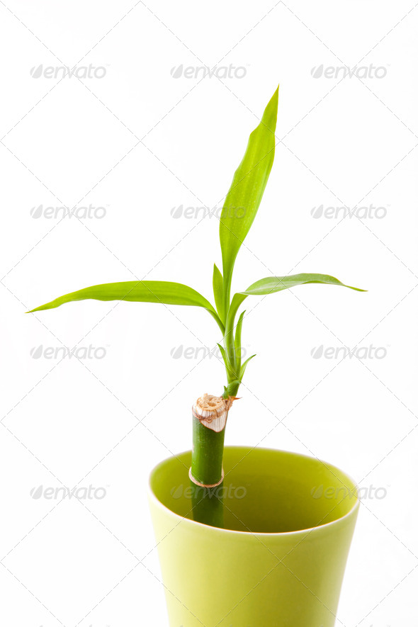bamboo shoots in green vase - Stock Photo - Images