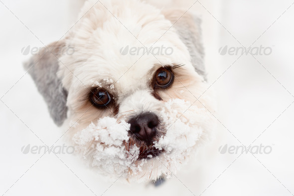 Lhasa apso - Stock Photo - Images