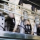 Cows Udder With Milking Machine On Dairy Farm 31 - VideoHive Item for Sale