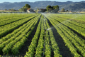 irrigation system on a basil field - PhotoDune Item for Sale
