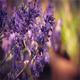 Lavender In Sunny Evening Garden