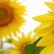 sunflowers in field, close up against the sky. summer flowers in the field. - VideoHive Item for Sale
