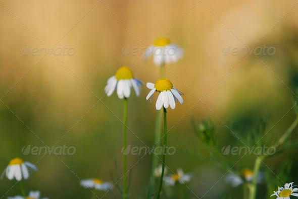 daisy - Stock Photo - Images