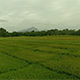 Flyover a Rice Grass Paddy Field - VideoHive Item for Sale