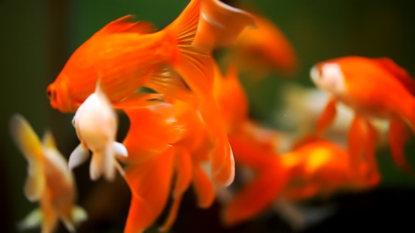 Beautiful Goldfish In An Aquarium By Homonstock Videohive