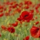 Field With Poppies As Symbol Of Sorrow - VideoHive Item for Sale