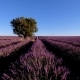 Lavender Field In Plateau Valensole - VideoHive Item for Sale