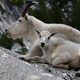 Mountain Goat - VideoHive Item for Sale