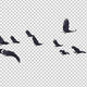 13 Black Birds Flock Flying Cycle I - VideoHive Item for Sale