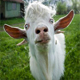 Goat Bleating