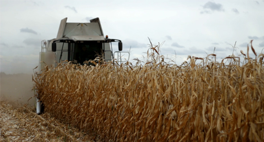 Combine corn harvesting