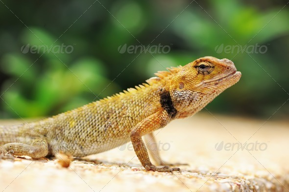 Wild lizard - Stock Photo - Images