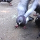Pigeons On Square - VideoHive Item for Sale