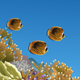 Coral Reef with Butterfly Fishes - GraphicRiver Item for Sale