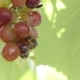 Bees Are Eating The Grapes. - VideoHive Item for Sale