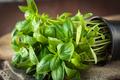 Fresh basil plant - PhotoDune Item for Sale