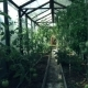Tomatoes In a Family Green House. - VideoHive Item for Sale