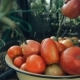 Gentle Woman Hands Gather Wet Ripe Red Tomatoes In Garden, - VideoHive Item for Sale