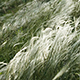 Feather Grass 1 - VideoHive Item for Sale